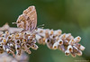 Cacyreus marshalli-3138 (Miguel Angel Larrea) Tags: lepidóptero lepidoptera mariposa butterfly papilionoidea polyommatinae polyommatini cacyreus marshalli macro insecto insect wildlife naturaleza nature