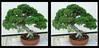 Longwood Gardens Bansai Tree 1 - Crosseye 3D (DarkOnus) Tags: juniperus chinensis var sargentii sargent juniper pennsylvania bucks county panasonic lumix dmcfz35 3d stereogram stereography stereo darkonus longwood gardens scenic scenery bonsai tree crossview crosseye