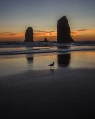 Sunset at Cannon Beach, OR (gks18) Tags: canon lightroom nik cannonbeach oregon gull bird nature