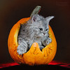 Happy Halloween (laagwater) Tags: happyhalloween halloween pumpkin pompoen kat cat kitten selkirkrex