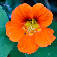 Nasturtium (Mags McLaren) Tags: 7daysofshooting week17 beginningwiththelettern macromonday