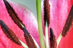 Did someone say...Pollen? 😁🌸 (leannehall3) Tags: stargazer lily stamen petals petal white pink green pollen flower flowersarefabulous closeup closeupphotography macro macrotubes canon 1300d hull