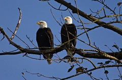 Bald Eagle Pair (jerrygabby1) Tags: