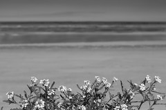 Some flowers on the dunes, in front of the sea. La Panne, Belgium (martine_vise) Tags: flowers sea beach dunes depanne lapanne belgium dunevegetation vegetation blackandwhitephotography blackandwhite monochrome summer summerlife beachlife naturelover sand northsea depannebeach immensity minimalist empty bokeh beachlover
