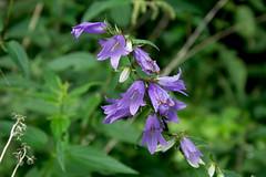 Glockenblume (planetvielfalt) Tags: asteridae auenwald campanulaceae campanulales dicotyledonae schkeuditz sachsen deutschland