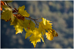Autumn, yellow leaves ... (miriam ulivi OFF /ON) Tags: miriamulivi nikond7200 italia toscana versilia stazzema autunno foglie leaves giallo yellow nature luce light 7dwf shadow