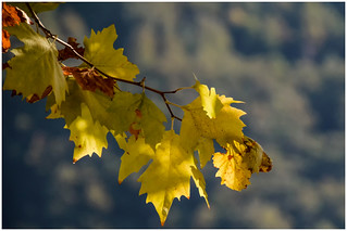 Autumn, yellow leaves ...