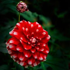 Dahlie  (19) (berndtolksdorf1) Tags: blumen flowers dahlien blüte blossom pflanze plant rot red