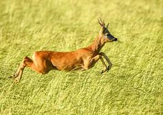 Roe buck (George Findlay) Tags: deer roe buck ayrshire nikon sigma