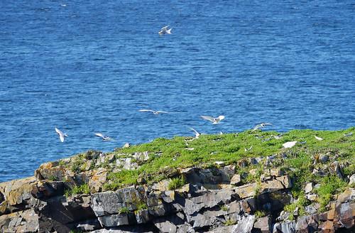 nesting terns