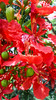 Royal poinciana (nikkinicknicol) Tags: crash boat beach aguadilla puerto rico dominican republic flower red bright tree flamboyan royal poinciana