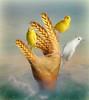 The hand that feeds (jaci XIII) Tags: trigo ave pássaro mão alegoria surrealismo calopsita canário wheat bird hand allegory surrealism canary