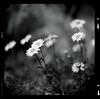 Bronica SQ-A-028-002 (michal kusz) Tags: bronica sqa zenzanon 80mm ilford fp4 pushed 200 orange filter cokin macro ddx epson v600 daise grass 120 medium format monochrome monochromatic dark flower flowers
