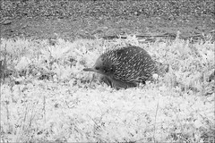 creek-junction-0903-ps-w (pw-pix) Tags: echidna spiky spiny sharp prickly spines spikes fur furry funny beak nose eye walking looking grass weeds roadside gravel track monotreme shortbeakedechidna tachyglossusaculeatus bw blackandwhite monochrome sonya7 irconvertedsonya7 850nminfrared ir infrared forest plantation policetrack creekjunction toorourplantation limaplantation strathbogieshire centralvictoria victoria australia