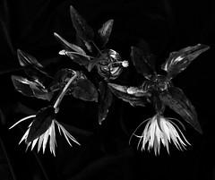 Belle-de-nuit Epyphillum (YAZMDG (16,000 images)) Tags: nb noiretblanc blacknwhite bw mono monochrome monoesque monochromatic plant flora flower epyphillum belledenuit cactus