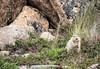 Arctic ground squirrel evil thoughts (JohannesLundberg) Tags: chukchipeninsulatundra asia arcticislands2017 pevek sciuridae spermophilus mammalia chukotkaautonomousokrug theria sciuromorpha location eutheria expedition chaunskydistrict russia spermophilusparryii rodentia arktiskaöar2017 chukotskyavtonomnyokrug pa1104 urocitellusparryii arcticgroundsquirrel arktisksisel певе́к пээкин ча́унскийрайо́н чаанрайон чуко́тскийавтоно́мныйо́круг chukotskiy ru