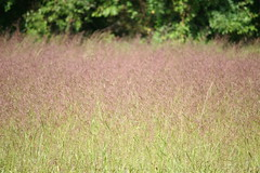 Purple Haze (eyriel) Tags: grass grasses seed seeds nature hike walk field