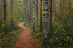 Autumn Melancholy (tinamar789) Tags: forest autumn color tree trees trail path pine birch yellow green landscape leaves mist misty fog luukki espoo finland