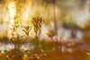 Fire in the sky... (.: mike | MKvip Beauty :.) Tags: sony⍺7markii sony⍺7ii sonyilce7m2sonyalpha7m2 sonyalpha sony alpha emount ⍺7ii ilce7m2 canonef200mmƒ28liiusm canon canonl metabonesefemounttsmart metabones canonefe eftoemount primelens prime 16mmtube macrotube extensiontube macromakro closeup manualexposure manual handheld availablelight naturallight backlight backlighting sunset sunsetlight goldenhour shallowdof bokeh bokehlicious beyondbokeh extremebokeh smoothbokeh dreamy soft zen nature green orange yellow water puddle reflections autumn fall wörthamrhein germany europe mth mkvip metabonesefemounttsmartadaptermarkiv