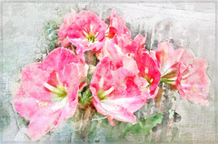 Nothing is impossible, the word itself says 'I'm possible'!    (Audrey Hepburn) (boeckli) Tags: amaryllis blumen flowers hippeastrum red rot blume blüten bloom blossom blossoms blooms plants plant pflanzen pflanze outdoor watercolor watercolour wasserfarben sevenstyles mixedmedia painterly garden garten flora netartii