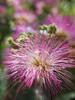 fleur d'albizia (philippe-jobiniot) Tags: fleur flower albizia macro
