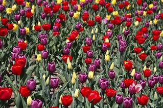 Stratford Ontario  ~ Canada ~ Tulips ~ Shakespearean  Botanical Garden  ~ Heritage