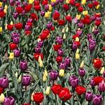 Stratford Ontario  ~ Canada ~ Tulips ~ Shakespearean  Botanical Garden  ~ Heritage thumbnail