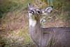Bambi V (Alexander Day) Tags: deer mammal mammals animal animals piscataway new jersey alex alexander day fauna