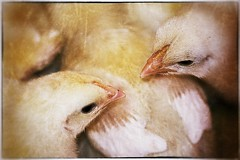 Chicken Fight (Steve4343) Tags: nikon d70s chicken fight chickenfight stare down yellow white red orange poultry baby babies steve4343
