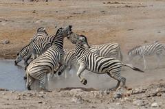 fight club (Karl-Heinz Bitter) Tags: afrika namibia africa zebras etosha waaterhole fight kampf karlheinzbitter wildlife wild creature
