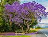 australian jacaranda (rod marshall) Tags: sunsettweed river waterreflections jacarandatree australianjacaranda