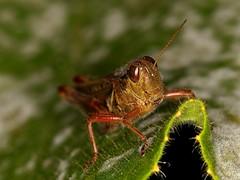 G-N-9-Grasshopper