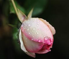 Eden Rose (LuckyMeyer) Tags: rose garden summer rain drop regentropfen wasser water white pink green makro blume blüte flower fleur