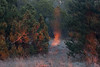 the spirit of the dusk (Mindaugas Buivydas) Tags: lietuva lithuania color winter february neringa kuršiųnerijosnacionalinisparkas kuršiųnerijanationalpark evening eveninglight twilight tree trees forest pine mindaugasbuivydas memelland