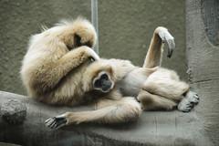 Lar Gibbon (Hylobates lar) (Seventh Heaven Photography) Tags: lar gibbon hylobates hylobateslar animal mammal primate endangered nikond3200 whitehanded chester zoo cheshire england