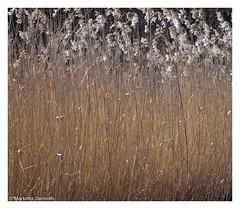 Aamuaurinko - Morning sun (TaleOfJoy) Tags: cmarkettastenroth flowersplants helsinki kaislikko landscape morning olympusem5 spring reeds