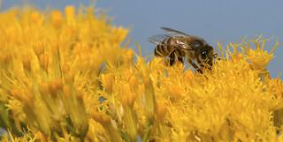 Honey Bee in Pollen Heaven - D800-10-13-17DSC_6928_1969