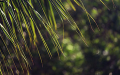 Green Rain (akigabo) Tags: mexico palm bokeh light flora canon t5i 250mmm spring plants foliage akigabo