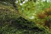 Moss (Yorkey&Rin) Tags: 2017 7月 em5markii freshgreenleaves japan july macro momiji moss olympus olympusmzuikodigitaled1250f3563ez rainyseason rin ua010029 yugawara モミジ゙ 新緑 神奈川県 苔 湯河原 梅雨