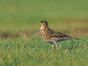 red throated pipit, Anthus cervinus (ammadoux) Tags: anthuscervinus anthus cervinus pipit redthroatedpipit jeddah jeddahbirds ammadoux