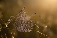 WWW = Wet Wet Web (de_frakke) Tags: web spider spin spinnenweb nat wet morning ochtenddauw morningdew bokeh