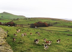 Beagling (dominiquita52) Tags: lancashire nature campagne beagles dogs chiens paysage landscape chasse