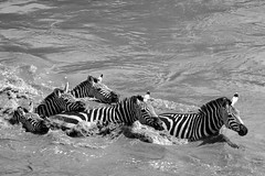 Mara Safari-9199.jpg (MudflapDC) Tags: africa safari herd marariver greatmigration vacation mara porinilioncamp plains zebra kenya gamewatchers maasaimara water crossing wildebeast wilderness masai