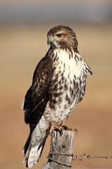 Hawk enjoying the autumn sun (Parowan496) Tags: redtailhawk autumn fall field fence barbedwire post