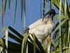 Australian White Ibis --- Threskiornis molucca (creaturesnapper) Tags: brisbane australia birds ibises waterbirds waders australianwhiteibis threskiornismolucca