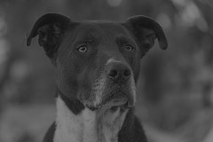 Jake (Cruzin Canines Photography) Tags: kerncounty americanpitbullterrier canon5ds portrait closeup cute pitbull domesticanimal bakersfield dog eos5ds animals california pit nature dogs canon monochrom pets naturallight canine animal canoneos5ds blackandwhite pet domestic mammal outside hartpark outdoors pitbullterrier 5ds jake