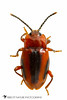 Handsome Fungus Beetle  (Aphorista vittata) 20171014_3422.jpg (Abbott Nature Photography) Tags: animals arthropodaarthropods coleopterabeetle endomychidaehandsomefungusbeetles endopterygota hexapoda insectainsects invertebratainvertebrates neoptera organismseukaryotes photography pterygota technique whiteseamlessbackground gordo alabama unitedstates us