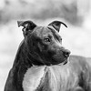 Indigo21Oct201737-Edit.jpg (fredstrobel) Tags: dogs pawsatanta phototype atlanta blackandwhite usa animals ga pets places pawsdogs decatur georgia unitedstates us