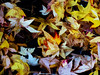 Leaves Litter (Steve Taylor (Photography)) Tags: leaflitter autumnal art digital contrast colourful newzealand nz southisland canterbury christchurch leaves leaf autumn