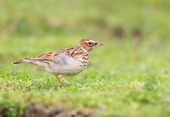 Woodlark (trevorwilson1607) Tags: woodlark lullulaarborea bird lark oneofthree trickygettingclose crawlingandcamo nikonsigmagear thursley common verywindy grass field countryside outdoors wet soggy soaked handheld500mm f4 640th 400iso